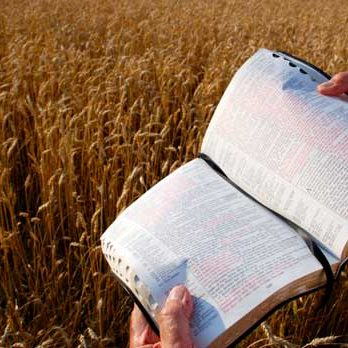 bible-wheat-field-520x348